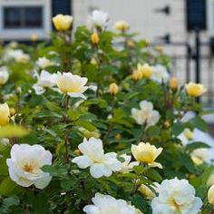 The Knock Out® Family of Roses   Star Roses & Plants