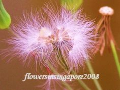 Flowers in Singapore: Emilia sonchifolia