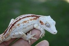 Gargoyle gecko this color/pattern flies butterfly frogs Cute Reptiles, Reptiles And Amphibians, Chameleons, Lizards, Snakes, Animals And Pets, Cute Animals, Chameleon Lizard, Melanism