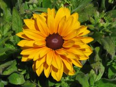 18 best yellow flower power images on pinterest yellow flowers long lasting semi double golden blooms with brown centers bushy growth habit to tall very mildew resistant mightylinksfo
