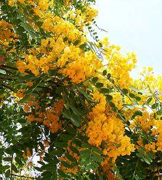 Tipuana tipu - Tipu Tree/ Yellow Jacaranda... like the one my grandmother had in her side yard. : )