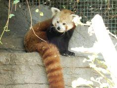 Zoo. Red Panda.