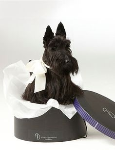 I love this picture, minus the bow. I find it so hard to photograph my black Scottie, and this is a great shot.