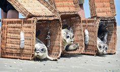Three young seals released into freedom, Justin island of Germany, on Tuesday, 28 July 2015. They were the first to be exempt from the wild animals Norddeich sea animal Station. Carmen Jaspers / EPA