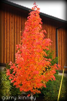 I thought the little maples growing along side the road as you enter Vernonia looked nice.....