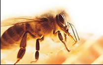 """basic bee facts about the """"worker"""" """"drone"""" & """"queen"""" bee"""