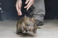 These Adorable Pictures Will Make You Want To Adopt A Baby Wombat