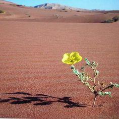 Beautiful flower in the Empty Quarter- Oman
