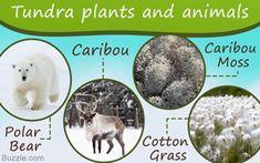 Tundra biome plants and animals