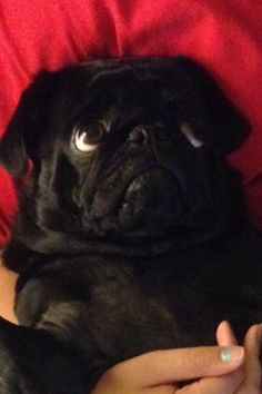 Black pug........Is he not the cutest thing. The look on his face is darling!'