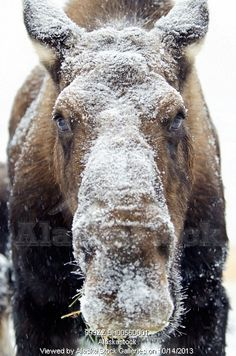 Photo of Moose (alces alces) face covered in snow;Yukon canada