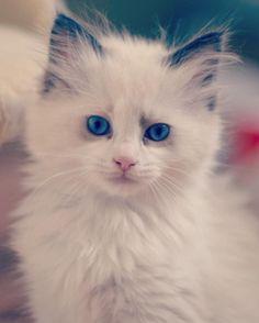 Yes its me. #gaiadekirdoll #ragdoll... Follow us on Instagram :D #cats #cat #catlover #lovecats #funny #fun #cute #socute #feline #felines #felinefriend #fur #furry #paw #paws #kitten #kitty #kittens #kittycat #kittylove #fluffy #fluff