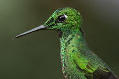 Green Crowned Brilliant - Hummingbirds of Costa Rica