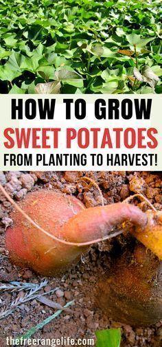 Vegetable Gardening Tips- How to grow sweet potatoes in your backyard garden. #beginnervegetablegardeningideas