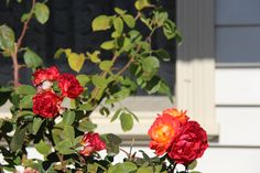 Old fashioned roses  Port Fairy Victoria  photo by jadoretotravel