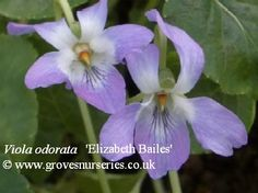 Elizabeth Bailes Violet.  (Margret Howard, NSW, Australia).  Soft lavender coloured flowers standing nicely erect from the plant.    Our own seedling with pink petals. Unusually splashed with a carmine centre. Named after Clive and Diana Groves' daughter. £3.50