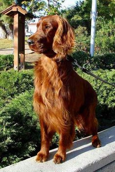 Irish Setter ~ beautiful color