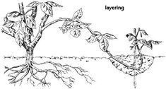 Free garden plants: Make your own by learning the many ways to propagate them - Gardeners of Southwest Florida (Naples, FL) - Meetup Fruit Garden, Garden Plants, Growing Grapes, Propagation, Grow Your Own, Grape Vines, Organic Gardening, Moose Art, Layers
