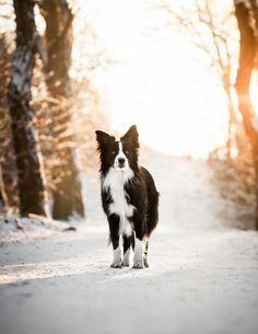 Border Collie Dog walking through the Snowy Woods