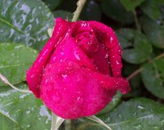A Rose... i do not need to say a word:D