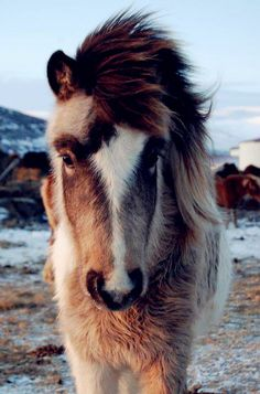 Fuzzy adorable little horse. How pretty! Big bushy full mane. Snow covered ground. Icelandic horse