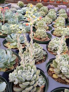 Echeveria Setosa succulent1 A beginner's guide to loving and growing succulents