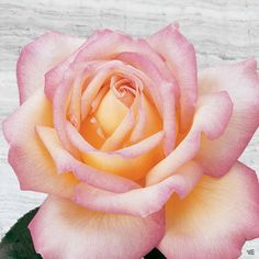 Rose 'Peace' — Green Acres Nursery & Supply Nursery Supplies, Citrus Heights, Border Plants, Desert Plants, New Growth, Container Plants, Bloom, Peace, Rose