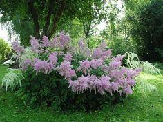Многолетние цветы для теневой клумбы
