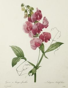 """vintage botanical print, Bright Red Sweet Pea, botanical art print by Pierre Redoute, sometimes known as """"the Rembrandt of roses"""", and the """"Raphael of flowers"""". Court artist to Marie Antoinette. Vintage Botanical Prints, Botanical Drawings, Vintage Art, Art Floral, Botanical Flowers, Botanical Art, Flower Prints, Flower Art, Art Flowers"""