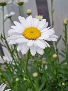 Shasta Daisies Planting these this year Started my seeds! Sunflowers And Daisies, My Flower, White Flowers, Flower Power, Beautiful Flowers, Shasta Daisies, Daisy Love, Flower Pictures, Mother Nature