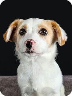 Fullerton, CA - Chihuahua Mix. Meet BLING, a puppy for adoption. http://www.adoptapet.com/pet/18049318-fullerton-california-chihuahua-mix