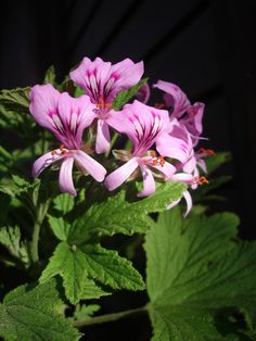 ahhh the smell. African Plants, Scented Geranium, Bonsai Garden, Citronella, Geraniums, Perennials, Planting Flowers, Beautiful Flowers, Florals