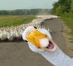 Many, many, many geese