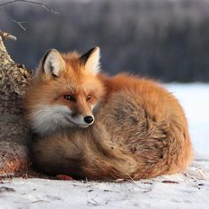 "Everything Fox - ""Just Chillin'"" by Duane Larson"