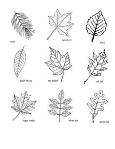 Here's the leaves that we will be making stamps for.