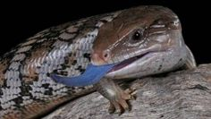 Blue Tongued Skink - he looks a lot like my BTS Pretty Snakes, Beautiful Snakes, Reptiles And Amphibians, Mammals, Baby Animals, Cute Animals, Animals Of The World, Creature Design, Exotic Pets