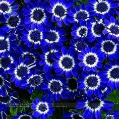 50 Azul Margarita, azul Cineraria más fácil de cultivo de flores, hardy semillas de flores las plantas ornamentales para el jardín exótico