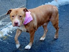 TO BE DESTROYED - 02/13/15 Manhattan Center   My name is HARRIET aka PARIS aka FLASH. My Animal ID # is A1027129. I am a female brown and white pit bull mix. The shelter thinks I am about 4 YEARS old.  For more information on adopting from the NYC AC&C, or to  find a rescue to assist, please read the following: http://urgentpetsondeathrow.org/must-read/