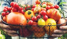Tomato Seedlings, Tomato Seeds, Types Of Tomatoes, Growing Tomatoes, Best Tasting Tomatoes, Tomato Fertilizer, Organic Mulch, Bountiful Harvest, Parts Of A Flower