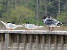 Forster's Terns and Laughing Gulls
