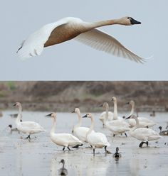 Photos of tundra swans flying and on the ground. ©Ashok Khosla. All rights reserved.