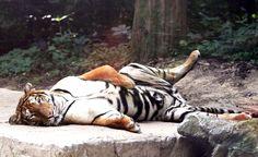 Le tigre du zooEverland Resort de Yongin a trop chaud. Il cherche la…