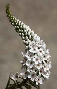 roldam: flowersgardenlove : 'Lysimachia clethroi Beautiful