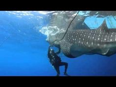 Whale Shark Gets Released From Fishing Net