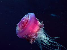meduse-rose