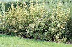 dereń biały 'Sibirica Variegata' - Cornus alba 'Sibirica Variegata'   Katalog roślin - e-katalog roślin
