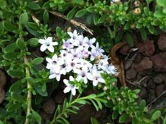 Drought tolerant ground cover plant flowering in the summer heat.