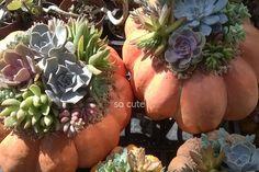 zucculente grandi