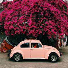 •Pink 1966 Beetle with Magenta Tree• 1966 Volkswagen Beetle - Pastel Salmon Pink in front of a magenta tree, possibly a spring tree; Magenta Blossom the tree hanging out of a wall mural. -NOT MY PICTURE, CREDIT GOES TO THE ORIGINAL PHOTOGRAPHER-