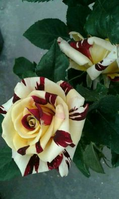 My new rose Beautiful Flowers Wallpapers, Unusual Flowers, Beautiful Flowers Garden, Rare Flowers, Flowers Nature, Amazing Flowers, Beautiful Roses, Pretty Flowers, Unique Roses